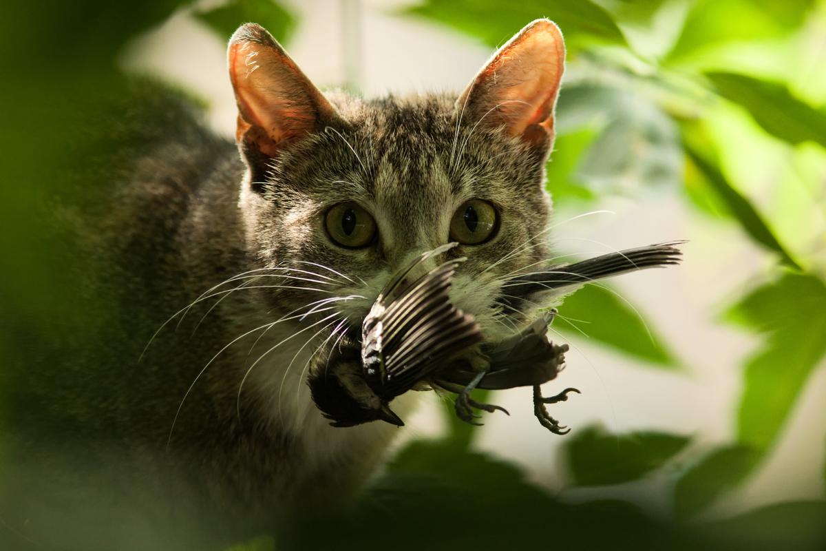 貓捕食鳥類。(shutterstock)