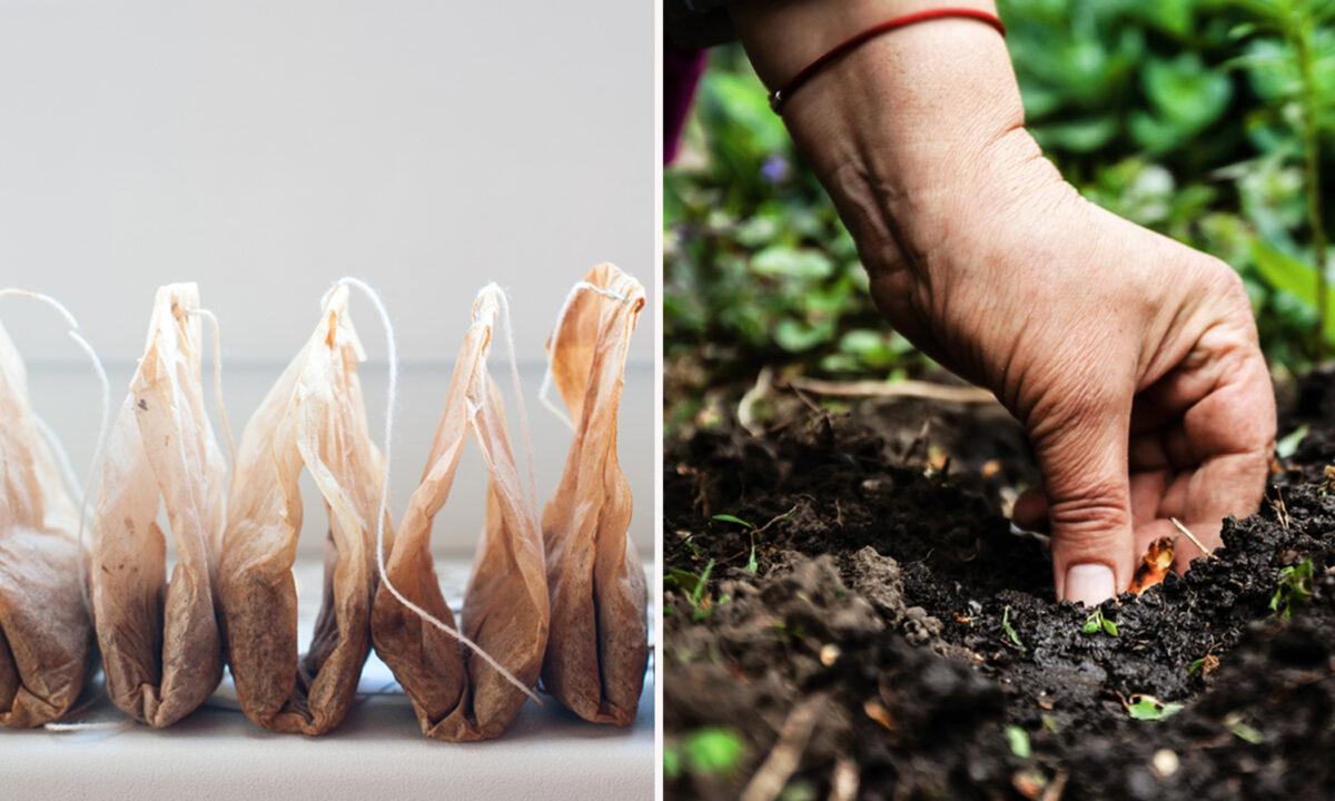 許多專家認為,在土壤中埋入用過的茶葉袋可能有很多好處。(Shutterstock)
