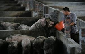 中共處理中共病毒疫情和非洲豬瘟驚人相似