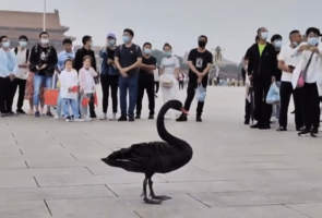 黑天鵝突降北京天安門引發熱議  途人圍觀被疏散