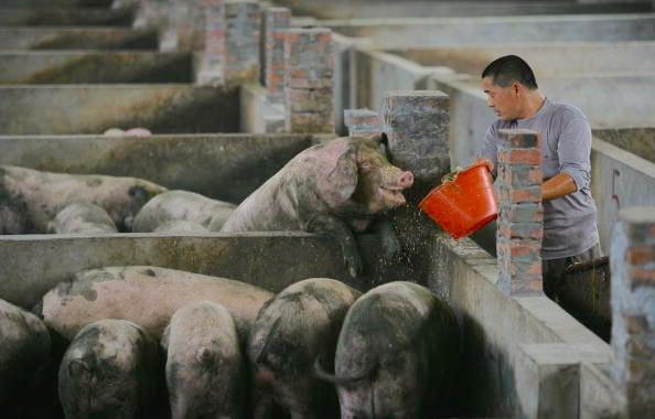 研究者們在中國屠宰場的工作人員身上,發現了豬流感的新病毒株,這種病毒可在人類呼吸道內生長繁殖。圖為中國豬場工人餵養豬隻。(China Photos/Getty Images)