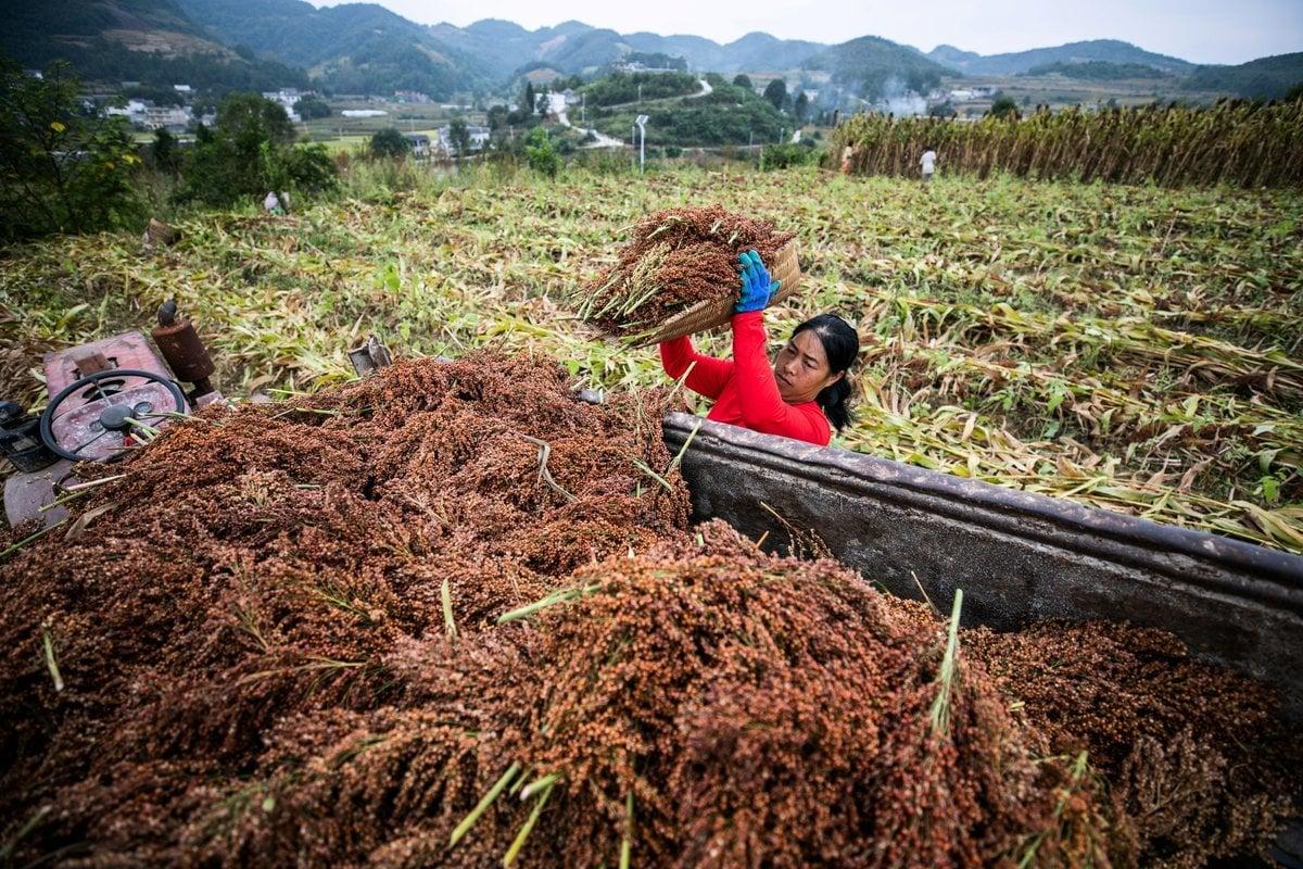 9月3日,貴州省畢節市金沙縣禹謨鎮,農民正在收割高粱。(STR/AFP via Getty Images)
