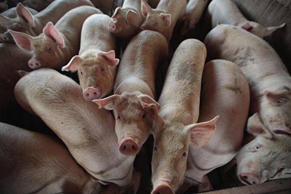 近期,湖南常德市安鄉縣松滋河區段每天都有大量死瘟疫豬漂浮,臭氣熏天。(Scott Olson/Getty Images)