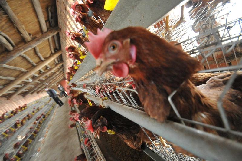 首次證實 H7N9禽流感病毒可經飛沫傳播
