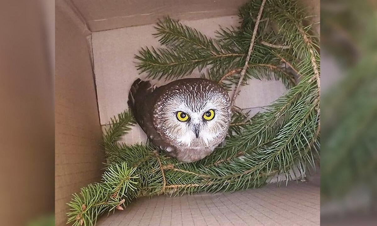 小貓頭鷹卡在洛克菲勒中心的聖誕樹裏三天三夜後獲救。(Ravensbeard Wildlife Center提供)