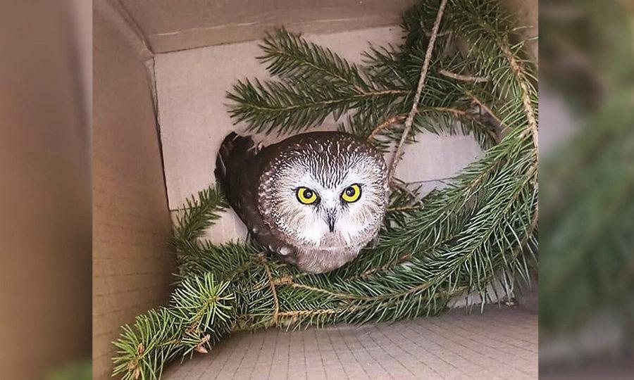 聖誕奇蹟 貓頭鷹受困洛克菲勒中心聖誕樹