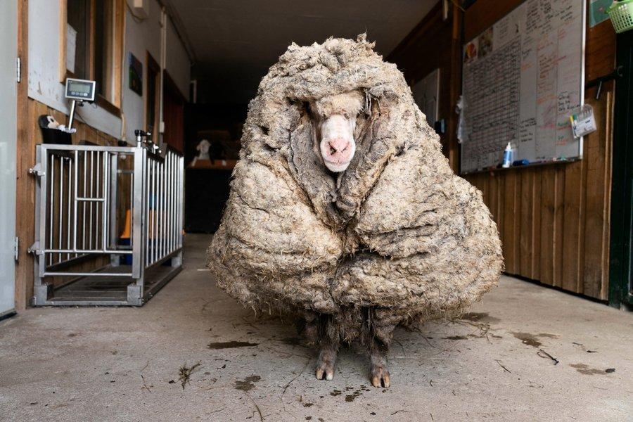 澳洲流浪綿羊像大毛球 剃毛35公斤後判若兩羊