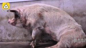 「豬堅強」死後仍作宣傳工具 館方稱製標本惹熱議