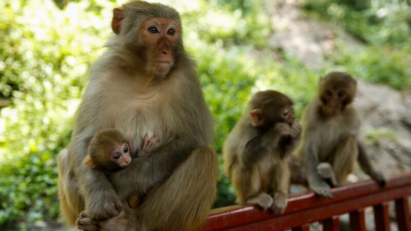 中國又出怪病 首現人類感染猴B病毒致死病例